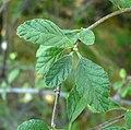 Cordia parvifolia 1.jpg