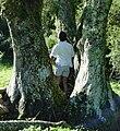 Cordyline australis old giant Waiotahi.jpg