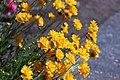 Coreopsis grandiflora IMG 3224-.jpg