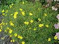 Coreopsis verticillata 0.4 R.jpg