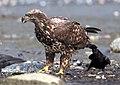Corvus brachyrhynchos pulling Haliaeetus leucocephalus.jpg