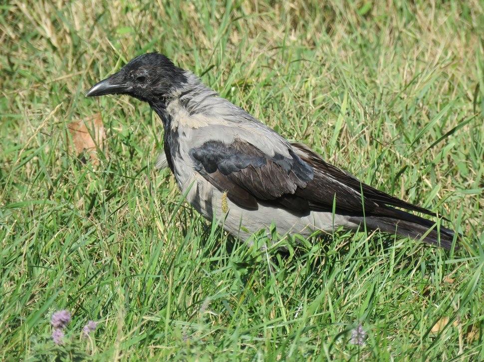 Corvus cornix2