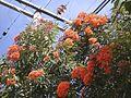 Corymbia ficifolia (6728155313).jpg