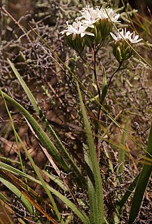 <i>Corymbium</i> Genus of perennial plants in the family Asteraceae from South Africa