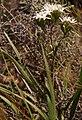 Corymbium villosum Helme 2.jpg