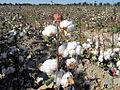 Cotton (8145399540).jpg
