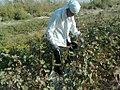 Cotton peeling (Uzbekistan)-01.jpg