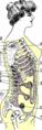 Coupe antero-posterieure dun trone feminin normal.png