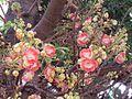 Couropita guianensis Bangalore AJT Johnsingh IMG 0056.jpg