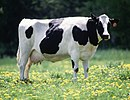 Cow female black white.jpg