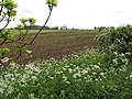 Cow parsley (Anthriscus sylvestris) - geograph.org.uk - 1300394.jpg