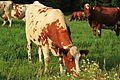 Cows by Kuninkaantie, Sipoo 2.JPG