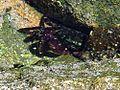 Crab ocean tide pools la jolla cove.jpg
