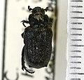Cremastocheilus harrisi (Kirby) - 5372381221.jpg