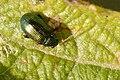 Crepidodera.aurata2.-.lindsey.jpg