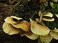 Crepidotus applanatus (Pers.) P. Kumm 229055.jpg