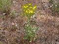 Crepis acuminata (4045140329).jpg