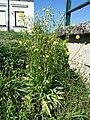 Crepis biennis sl1.jpg