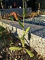 Crepis pulchra sl69.jpg