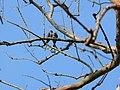 Crested Treeswift - Hemiprocne coronata - Apr07 329.jpg