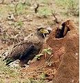 Crested serpeant eagle at Bandipur National Park.jpg