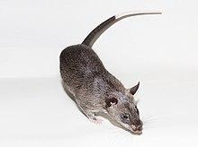 Cricetomys gambianus в неволе домашнее животное.jpg
