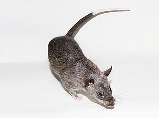 Gambian pouched rat Species of rodent