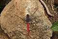 Crimson tailed marsh hawk Orthetrum pruinosum from Valparai Anaimalai Hills IMG 4649.jpg