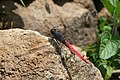 Crimson tailed marsh hawk Orthetrum pruinosum from Valparai Anaimalai Hills IMG 4660.jpg