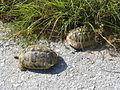 Crnovec - tortoise - P1100473.JPG