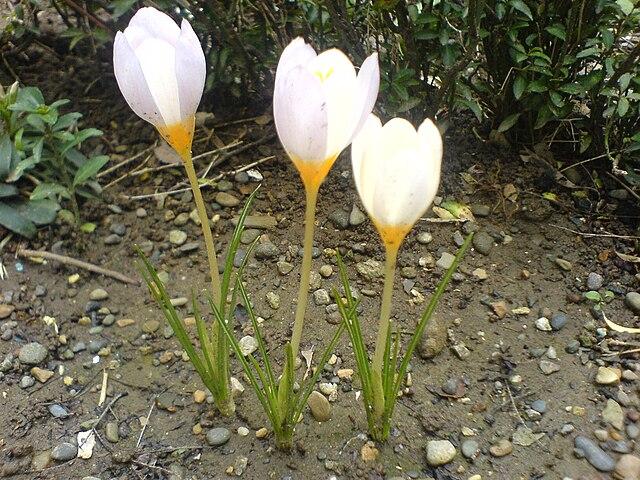 Крокус (Crocus caspius, источник Википедия)