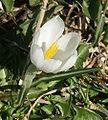 Crocus vernus albiflorus 2.jpg
