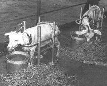Zwei Ziegen auf dem Schiffsdeck, in Reichweite von Wasser und Futter.
