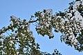 Cryptocarya alba (36098924685).jpg