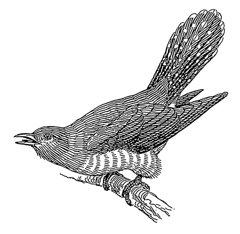 File cuckoo psf png wikimedia commons for Oiseau blanc et noir
