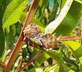Cup moth caterpillar.jpg
