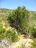 Cupressus forbesii at Coal Canyon-Sierra Peak, Orange County - Flickr - theforestprimeval (9).jpg