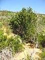Cupressus forbesii at Coal Canyon-Sierra Peak, Orange County - Flickr - theforestprimeval (9).jpg