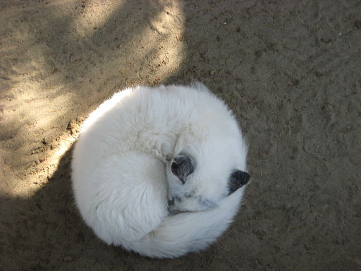 Curled-cat-in-ball
