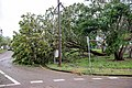 Cyclone Marcus in Darwin – Uprooted tree in Stuart Park 05.jpg