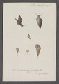 Cyclostoma maculatum - - Print - Iconographia Zoologica - Special Collections University of Amsterdam - UBAINV0274 082 28 0015.tif