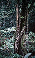 Cycnoches haagii - pl 1.jpg