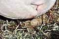 Cygnus olor (brütend) - Arboretum 2011-05-18 16-46-38.JPG