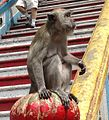 Cynomolgus Monkey at Batu Caves.JPG
