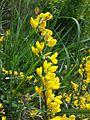 Cytisus procumbens sl21.jpg
