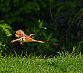 DSC 4160 1 72 - Sparrow In Flight.jpg