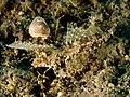 Dactylopus dactylopus - East Timor.jpg