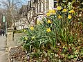 Daffodils on Park Place, Cardiff (16681533429).jpg