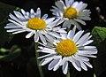Daisy (49235175547).jpg