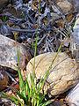 Danthonia decumbens Habitus 2012-4-22 Valderepisa SierraMadrona.jpg